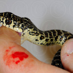 Какую первую помощь следует оказать при укусах ядовитых животных